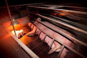 Farrowing crates in Australian pig farms