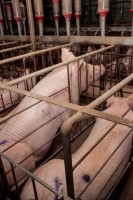 Sow stalls in Australian pig farms